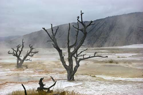 Canary Spring Skeletal Trees Mammoth Hot Spring