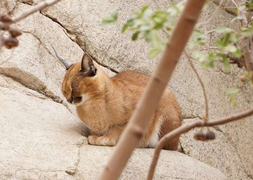 Caracal Cat Wild Animal Ears Feline Wildlife