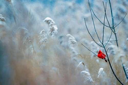 Cardinal Bird Wildlife Snow Winter Frost Nature