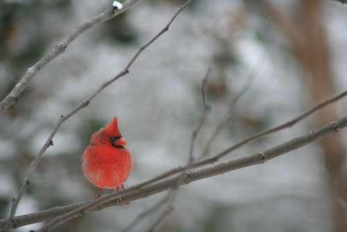 Cardinal Bird Winter Nature Male Branch