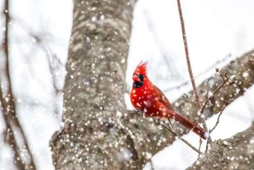 Cardinal Snow Nature Outdoors Bird