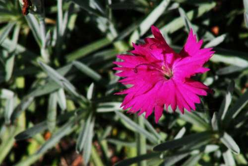Carnation Flower Pink Spring Blossom Summer Bloom
