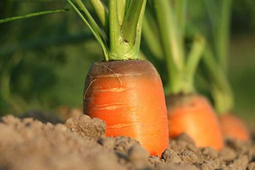 Carrot Growth Vegetables Agriculture Closeup