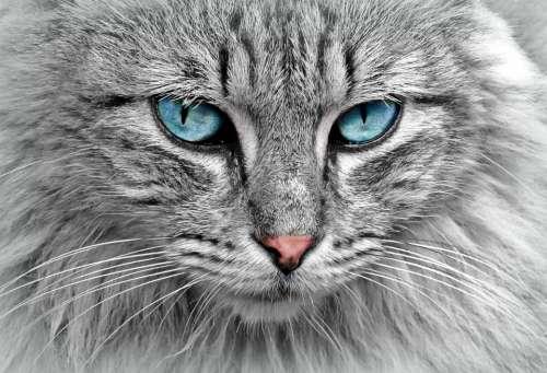 Cat Animal Cat Portrait Mackerel Cat'S Eyes Pet