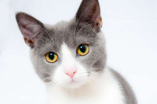 Cat Pet Animal Domestic Fur Portrait Feline