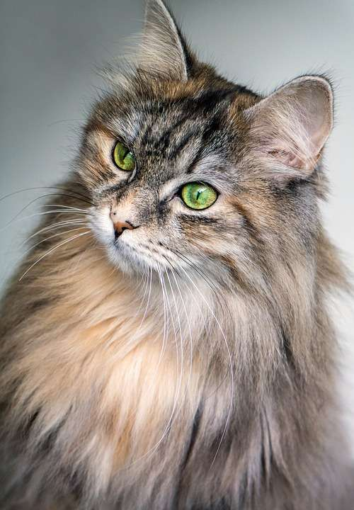Cat Feline Eyes Green Long Hair Animal Pet