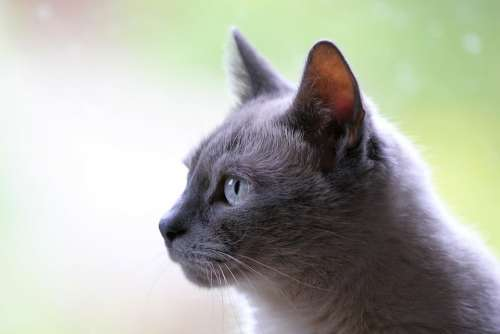 Cat Pet Animal Grey