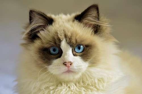 Cat Feline Pet White Young Blue Eyes
