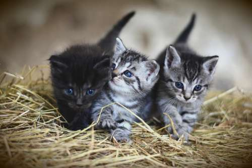 Cat Young Animal Kitten Mackerel Domestic Cat Pet