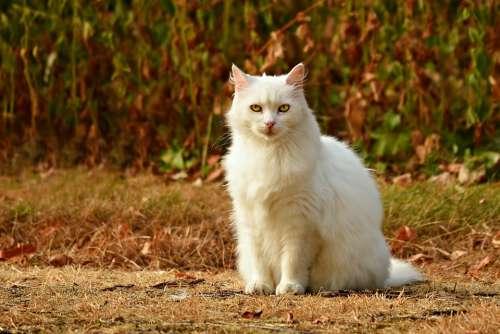 Cat White Animal Mammal Feline Sitting Looking