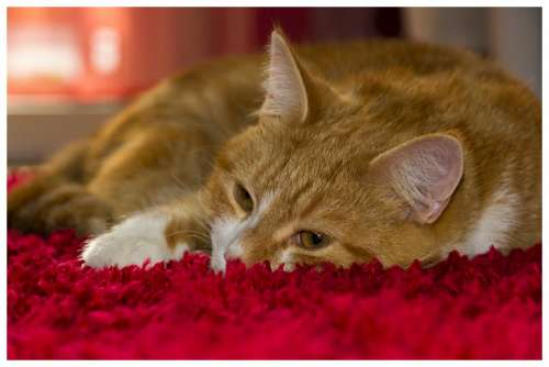 Cat Animals Cats Pet Animal Nature Domesticated