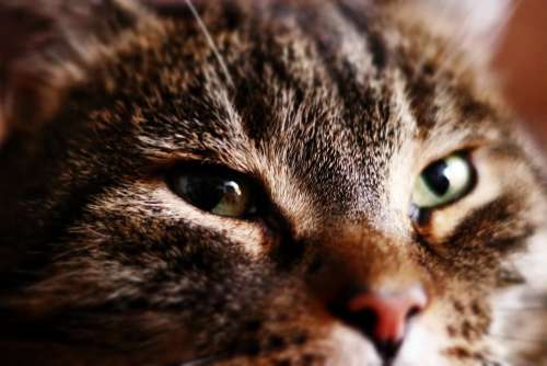 Cat Eye Face Domestic Cat Cat Face Close Up