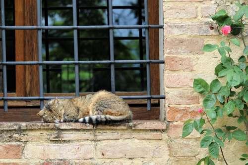 Cat Sleeping Siesta Italy Florence Winery