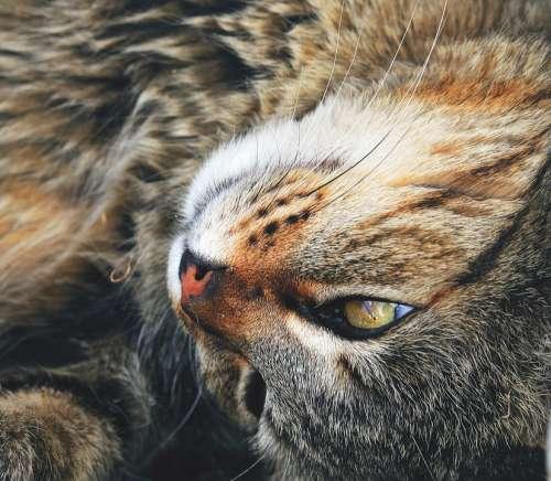 Cat Look Pets Eyes Feline Animal Pet Animals