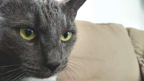 Cat British Thoroughbred Sweet Animal Kitten