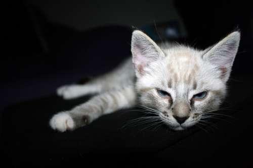 Cat Kitten Dark Background Pet Animal Kitty Cute
