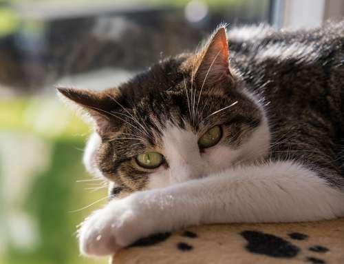Cat Feline Portrait Kitty Cute Looking Eyes Blue