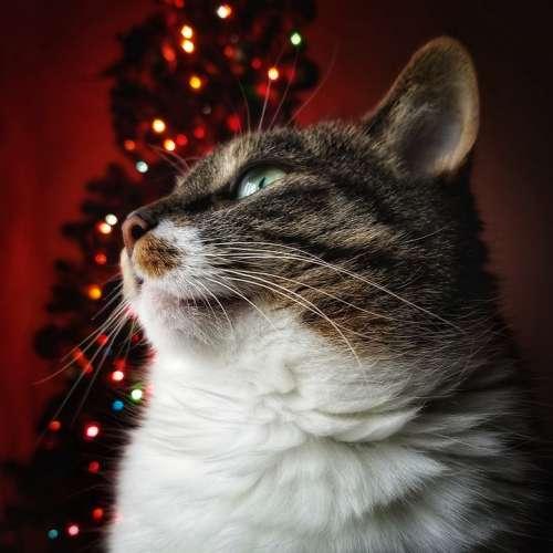 Cat Feline Christmas Red Christmas Lights Lights