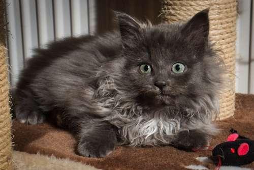 Cat Kitten Animal Pet Grey
