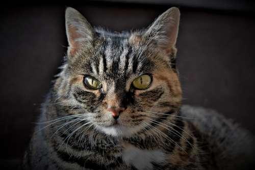 Cat Pet Mackerel Animal Domestic Cat Cat'S Eyes