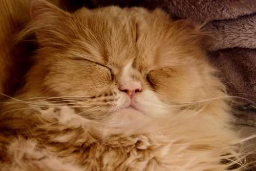 Cat Sleeping Big Face Nose Lovely