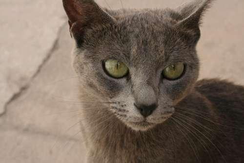 Cat Eyes Wild Animal Nature Head