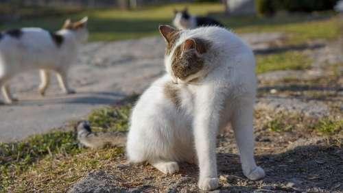 Cat Animal Pet Licking Kitty White