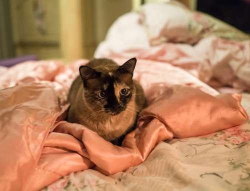 Cat Siamese Blue Eyes Pet Cute Fur Mammal Feline