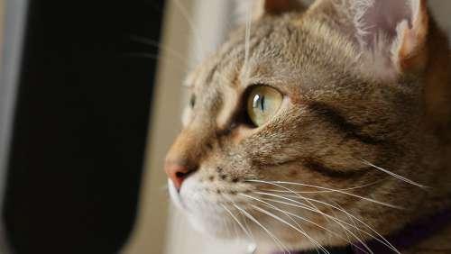 Cat Cute Portrait Mammal Pet Animal Kitten Eye