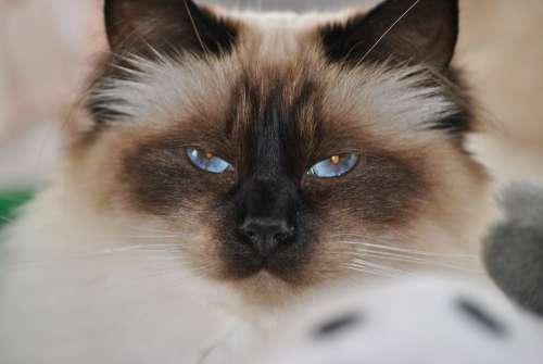 Cat Female Birmakatt Cute Animals
