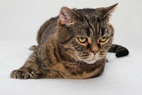 Cat Cat'S Eyes Domestic Cat Mackerel Cat Face Bkh