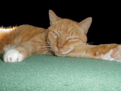 Cat Sleepy Domestic Cat Animals Sleeping Felidae