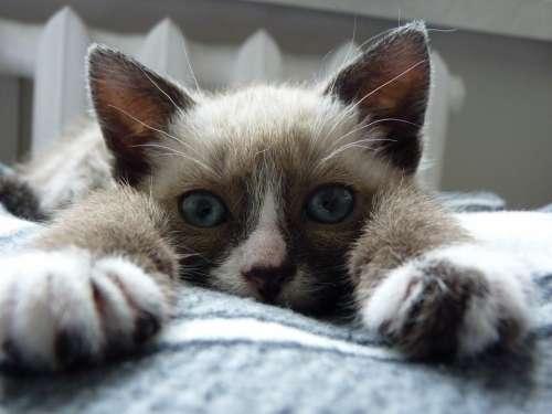 Cat Animal Kitten Domestic Adorable Kitty Furry