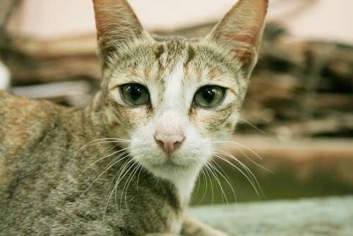 Cat Feline Domestic Pet Cute Mammal Kitty Fur