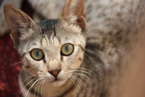 Cat Cute Kitty Kitten Eyes Looking