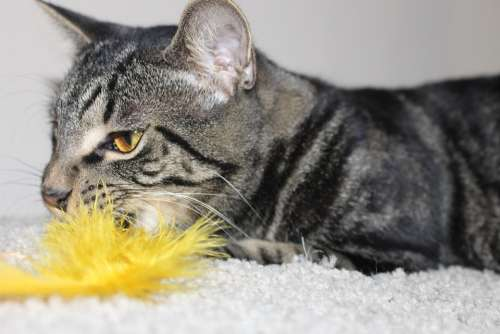 Cat Feather Kitty Play