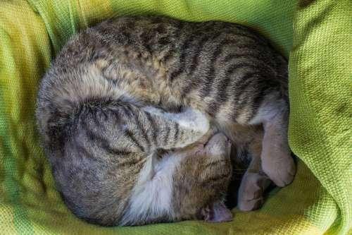 Cat Animal Feline Cat Portrait Pet Sleeps