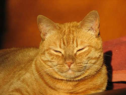 Cat Red Domestic Cat Cat Face Pet