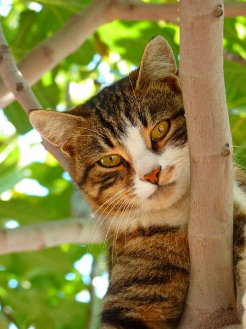 Cat Pet Domestic Cat Mackerel Animal