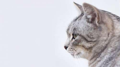 Cat Feline Pet Kitten Kitty Domestic Profile