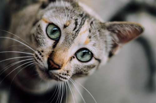 Cat Face Cat Cat Eyes Domestic Animals Pet
