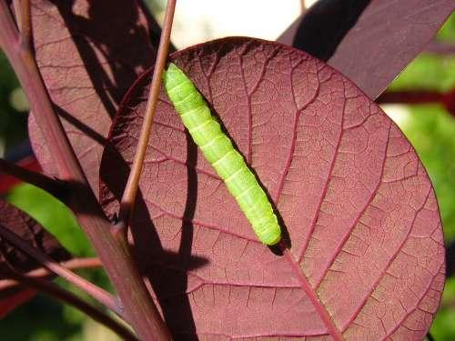 Caterpillar Leaf Nature Larva Color Outdoors