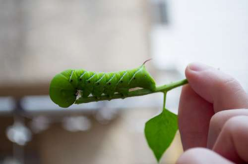 Caterpillar Green Insect Pest Bug Hornworm