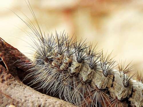 Caterpillar Hairy Macro Larva Grub Itchy Native