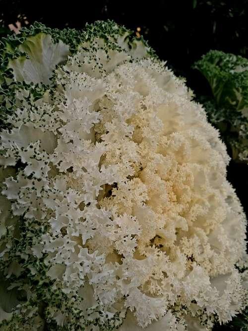 Cauliflower Green White Nature Plant Dark