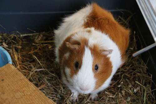 Cavy Animal Domestic Animal Rodents Cute Nature