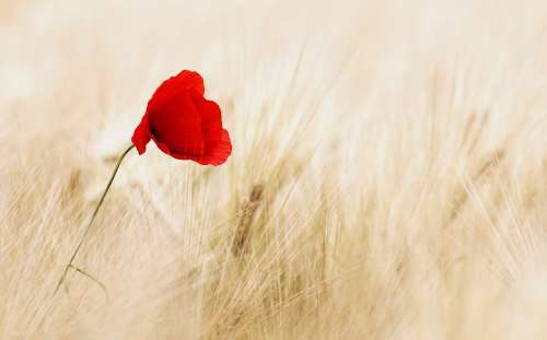 Cereals Field Ripe Poppy Poppy Flower Summer Red