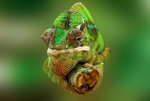 Chameleon Reptile Lizard Green Animal Insect Eater