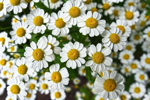 Chamomile Flower Plant Bloom Herbal Naturopathy