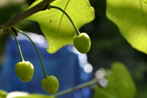 Cherries Spring Summer Fruit Trees Green Blue